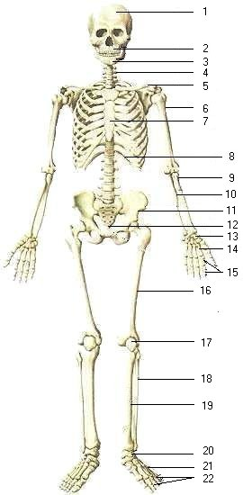 biology : skeletal system & bones of human body i - multiple choice, Skeleton