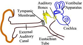 canal and middle ear