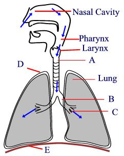 Biology : Human Respiratory system - Worksheet / Test Paper